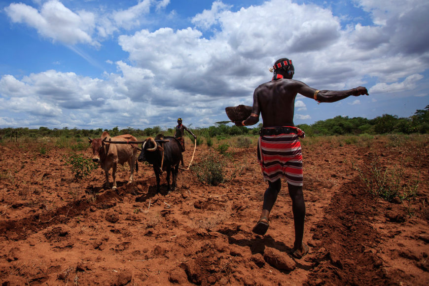 Hamer-men-ploughing-land-and-planting-sorghum-seeds